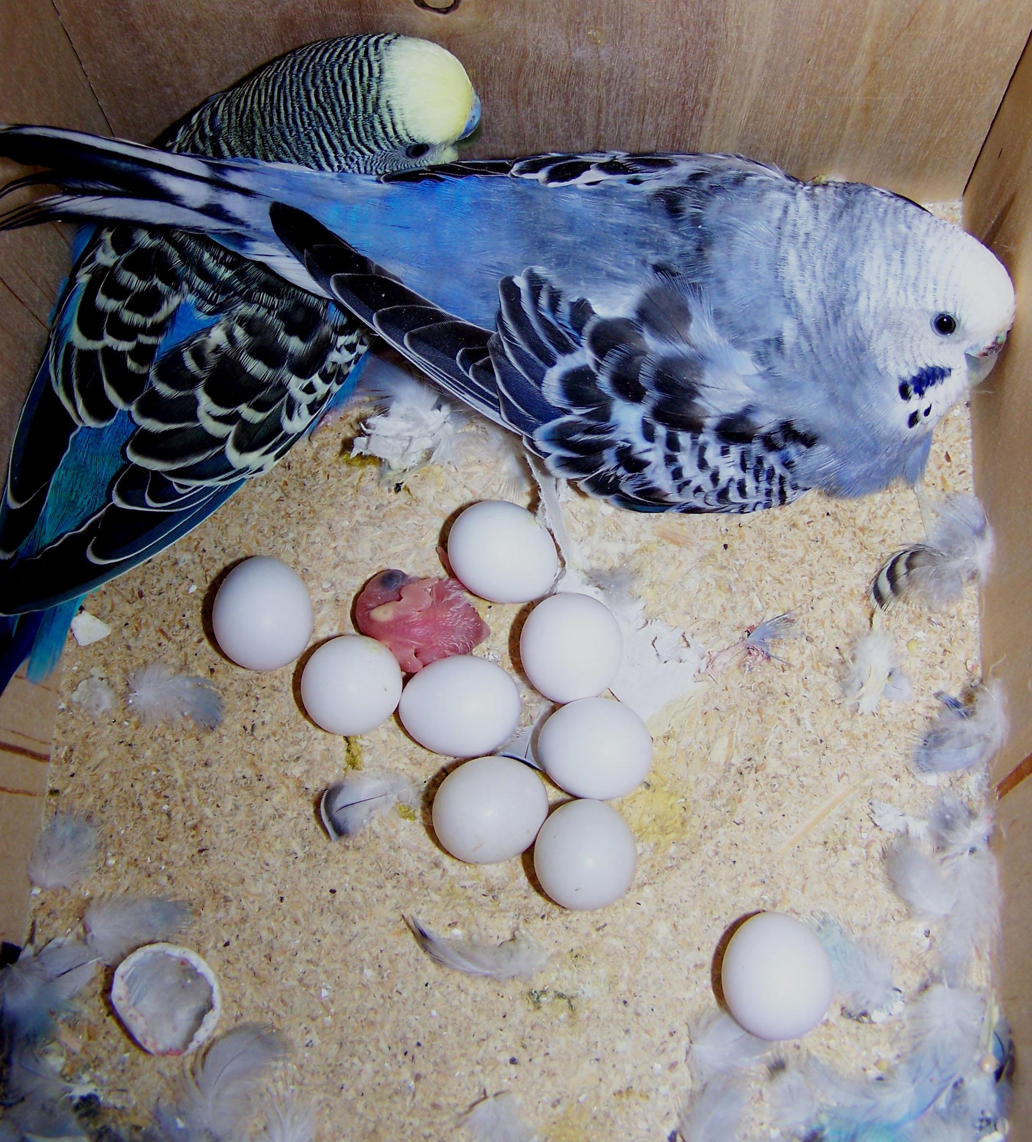 Волнистый попугай беремен или нет
